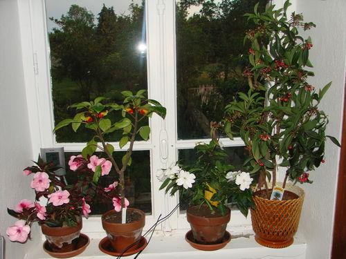 2008 06 23 Les plantes de ma chambre, mes impatiences et mon Ardisia