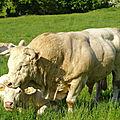 Cheptel élevage charolais debord