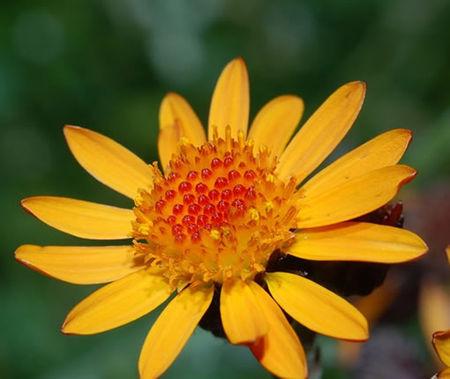arnica_fleurs