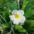 2008 04 15 Une fleur de primevères blanche