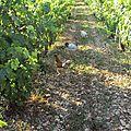 Poules dans les vignes