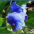 Iris bleu 030415
