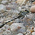 Gomphe à pinces • Onychogomphus forcipatus (mâle)