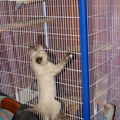 2008 05 21 Un petit chaton de Pillon qui grimpe le long de la cage du chinchilla