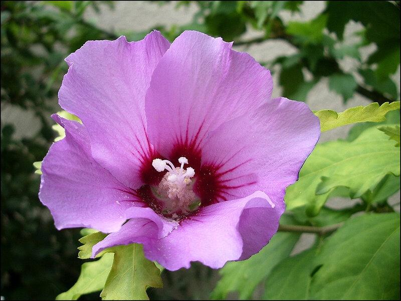 hibiscus-