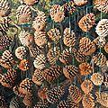 mur de pommes de pin yurtao
