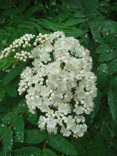 2008 05 30 Fleur d'arbuste