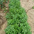 persil plat - www.passionpotager.canalblog.com