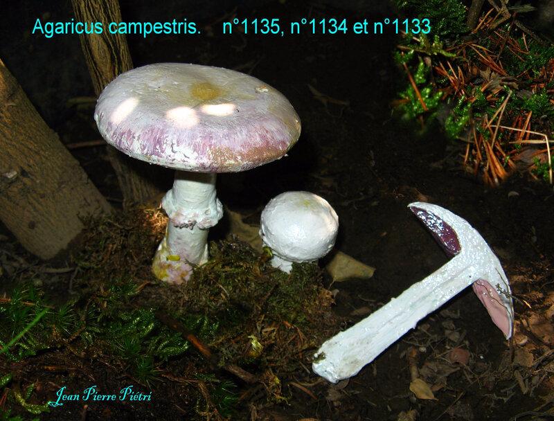 Agaricus campestris n°1135 n°1134 et n°1133