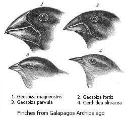 Pinçons de Charles Darwin