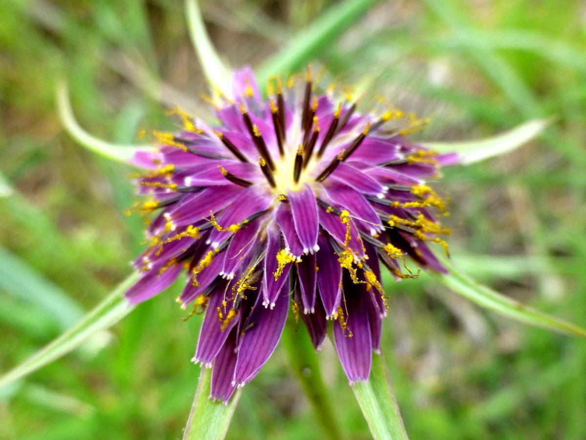 salsifis (tragopogon porrifolius)