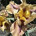 Collection iris Parc Floral Orléans