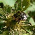 larve de Nezara Viridula