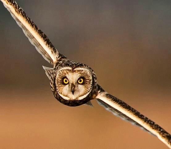 oiseau hibou chouette vol_363769859_n