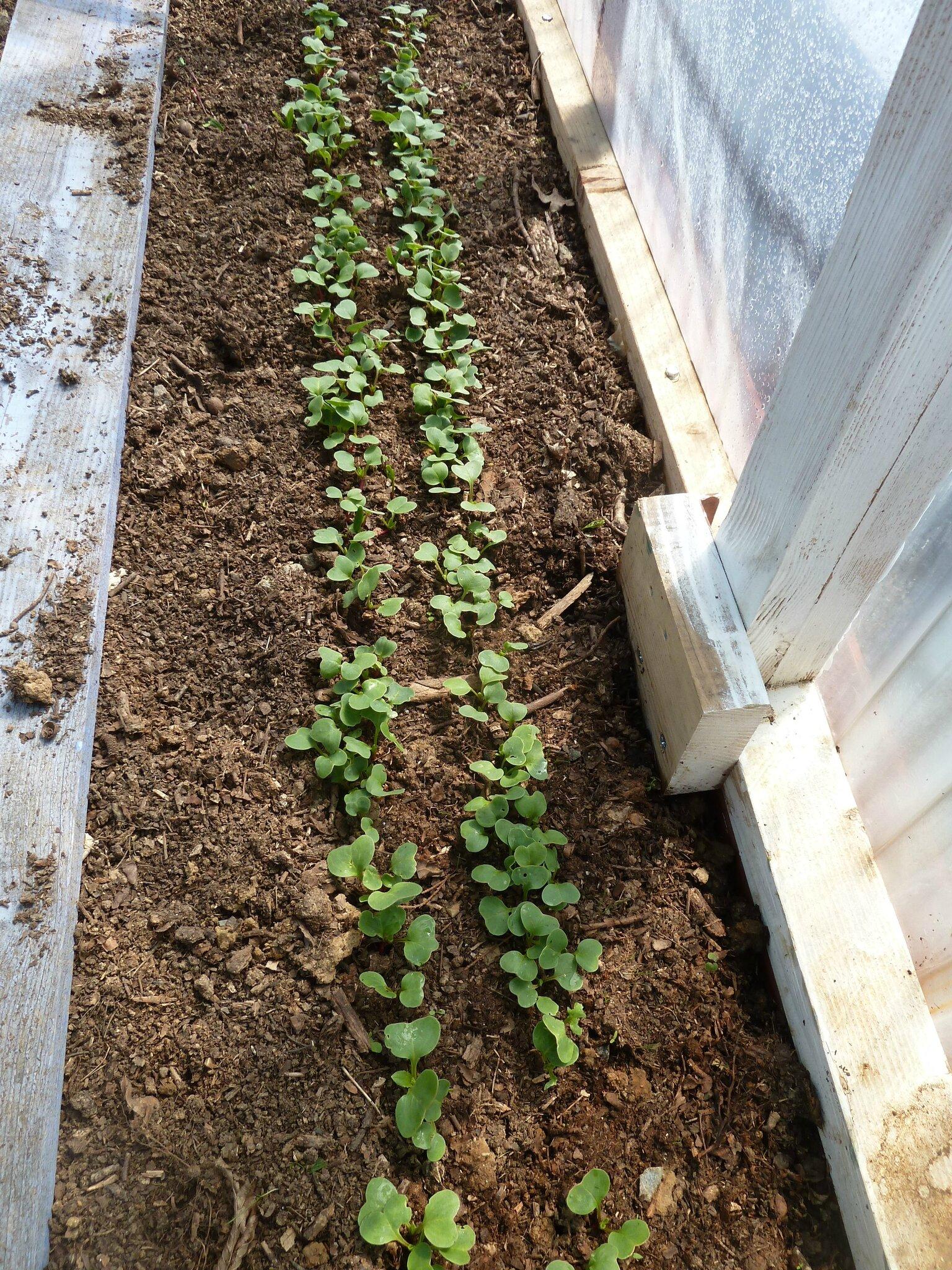 Semis radis tous les messages sur semis radis passion - Quand cueillir les radis ...