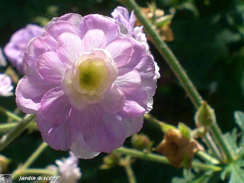 Le Géranium vivace 'Pratense summer skies'