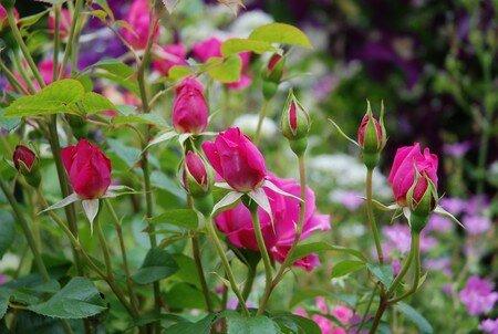 rose_St_Ex10