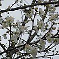 Fleurs de Prunier 1302163