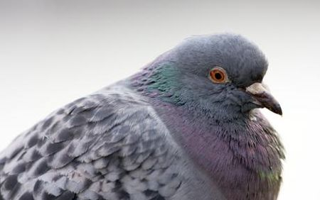 pigeon_getty_images