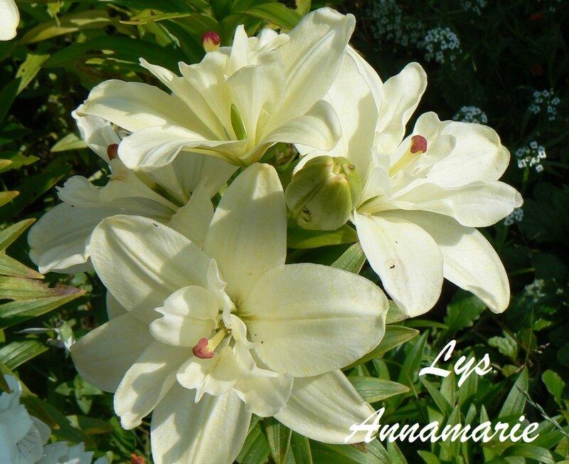 lys_blanc