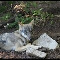 Zoo de Copenhague : le loup