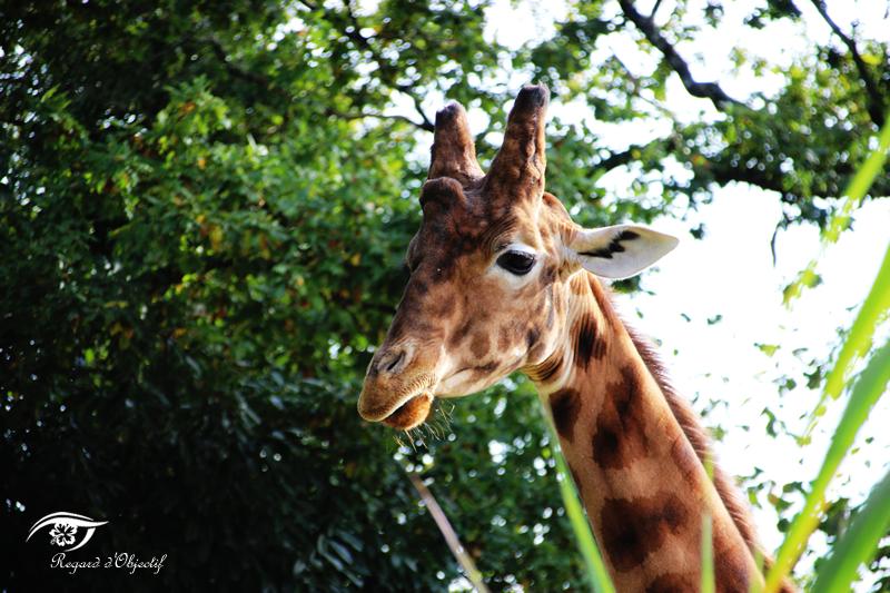 sophie_girafe01
