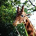 Sophie, la girafe...