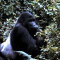 gorille dos 6