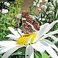 papillon-brun