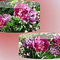 tulipes 2015_03_12