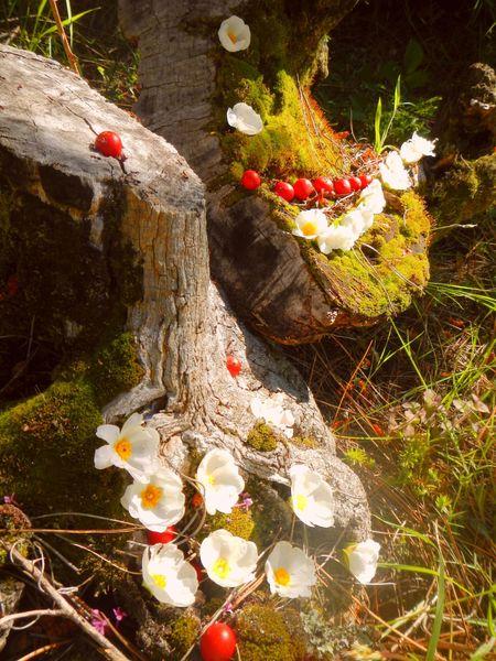 fleurs de cyste et baies de houx