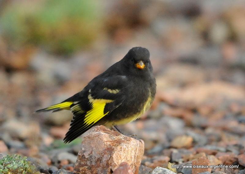 Chardonneret noir carduelis atrata oiseaux d 39 argentine for Oiseau jaune france