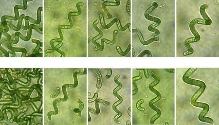 production_spiruline_microscope