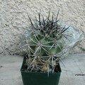 Ferocactus lindsayi