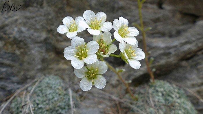 Fleurs blanches de 5 à 10 en corymbes serrés