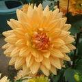 2008 09 12 Une fleur de dahlias orange