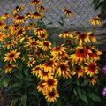 2009 08 06 Mes rudbeckias en fleurs
