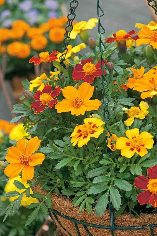 Fleuroselect_marigold_5[1]