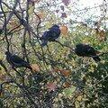Les pigeons de Stephen Green's park