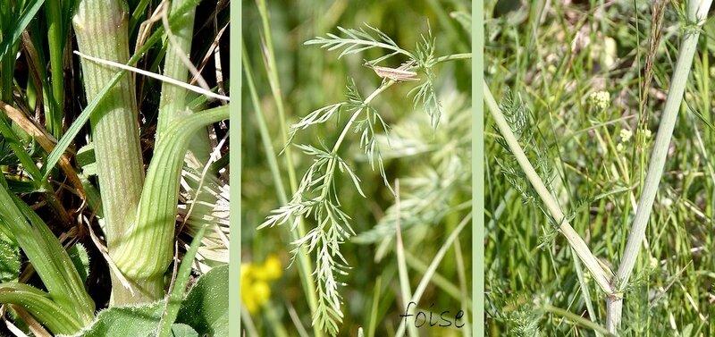 tige sillonnée anguleuse feuilles bipennatiséquées à lanières courtes