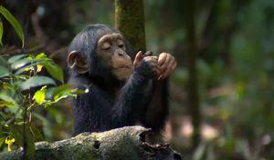 chimpanz_s6