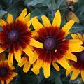 2009 07 26 Fleurs de rudbeckias