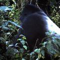 gorille dos 2