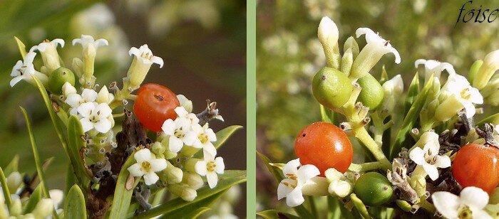 périanthe blanc à lobes ovales baies ovoïdes rouge vif