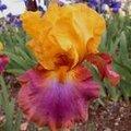iris mega bucks
