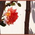 Rose orangée 230415