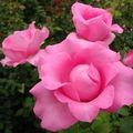 Extraits de rose