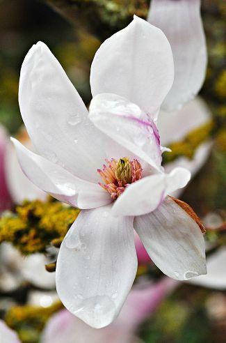 magnolia0000