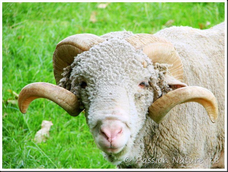Moutons de Méinos (3)