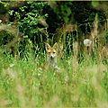 Renard roux (ou renard commun) vulpes vulpes